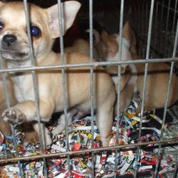 Traffico di cuccioli, a Rimini 3 denunce e 11 cagnolini salvati