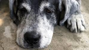 La pelliccia dei cani nervosi imbianca prima: così invecchiano i nostri quattro zampe