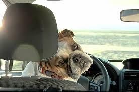 Cani liberi in auto, ecco quanto è pericoloso nello studio Volvo Car Usa