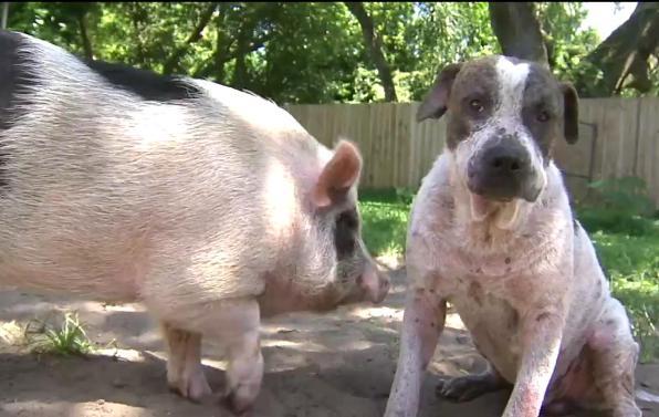 Cane e maialino inseparabili escono per marachella e perdono la via di casa