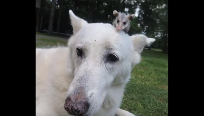 Opossum orfanello adottato dal cane pastore. Sono inseparabili
