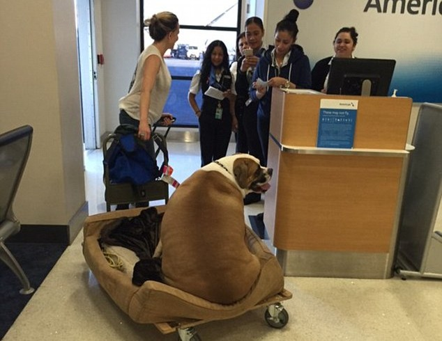 Cane obeso vola in prima classe come un pascià. Si chiama Hank