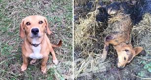 Cucciolo ucciso a fucilate, bruciato e lasciato nel letame: orrore nel frusinate