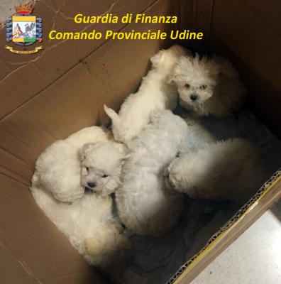 Traffico illegale di cuccioli dall'Est, sequestro delle Fiamme Gialle a Udine
