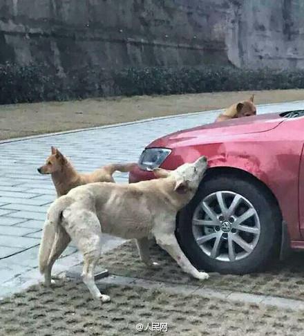 L'automobilista prende a calci un randagio, lui torna con altri cani e gli rosicchiano l'auto