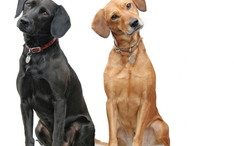 Perché i cani inclinano la testa quando ci parli?