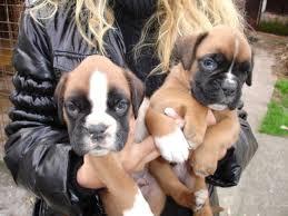 Il loro boxer muore, loro si fanno clonare due cuccioli per Natale