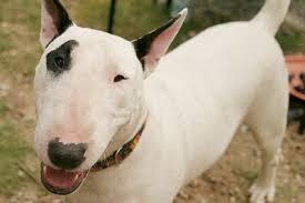 Un cane di razza bull terrier
