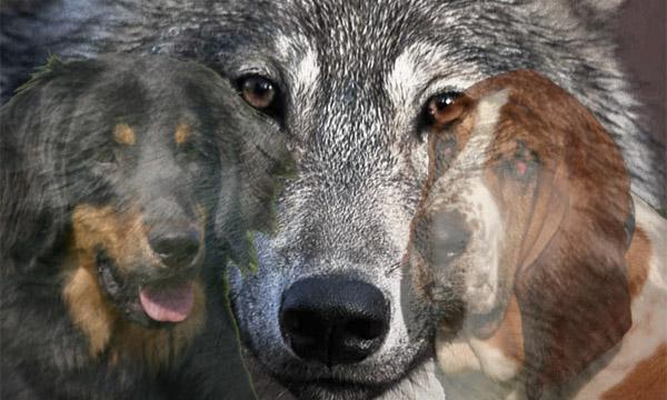 Dal lupo al cane domestico: un viaggio lungo 33mila anni