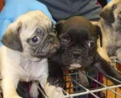 Ventisei cuccioli senza documenti: 2015 chiuso con sequestro a Pordenone