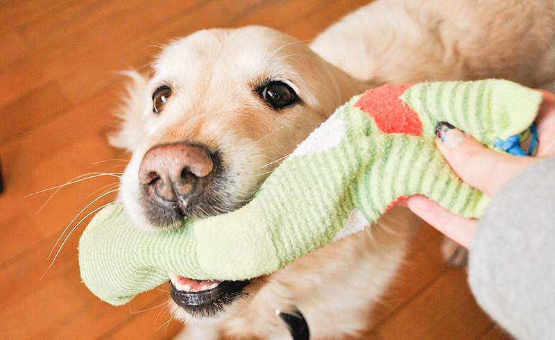 Perché i cani adorano rubare calzini e panni sporchi?