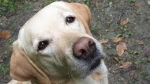 Pet-therapy in lutto per Cannella, il cane-dottore dei bimbi del Meyer