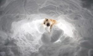 labrador neve