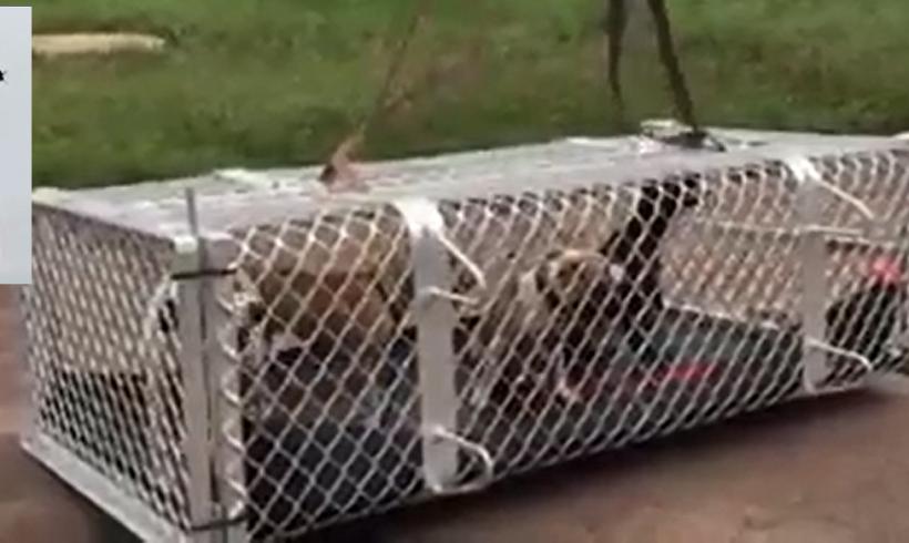 Australia alluvionata, 60 cani in salvo con l'elicottero