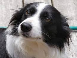 Un cane di razza border collie