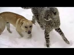 Un ghepardo e un cane amici per la pelliccia scoprono la neve: accade a Richmond