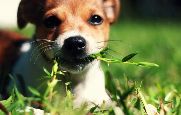 Perché il cane mangia l'erba?