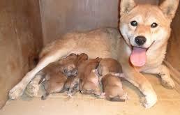 Traffico di cuccioli, sventata operazione a Milano