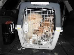Cuccioli, non si ferma il traffico illecito. 19 piccoli sequestrati dalla Forestale a Arezzo