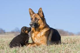 Mamma e cucciolo fuggono dai botti, ma vengono ritrovati e riportati a casa