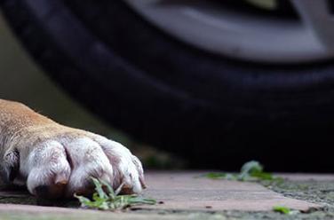 Ha ucciso il cane trascinandolo con l'auto: via al processo. Nel Canavese, invece, cani trascinati con l'Ape restano al proprietario