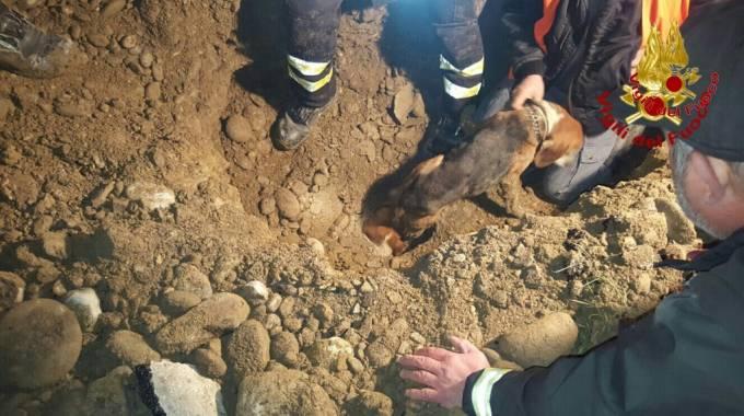 Si incastrano in un tubo inseguendo il gatto: due beagle recuperati dai vigili del fuoco