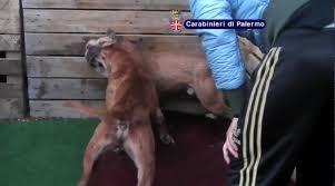 Organizzavano combattimenti tra cani: al via il processo a Palermo