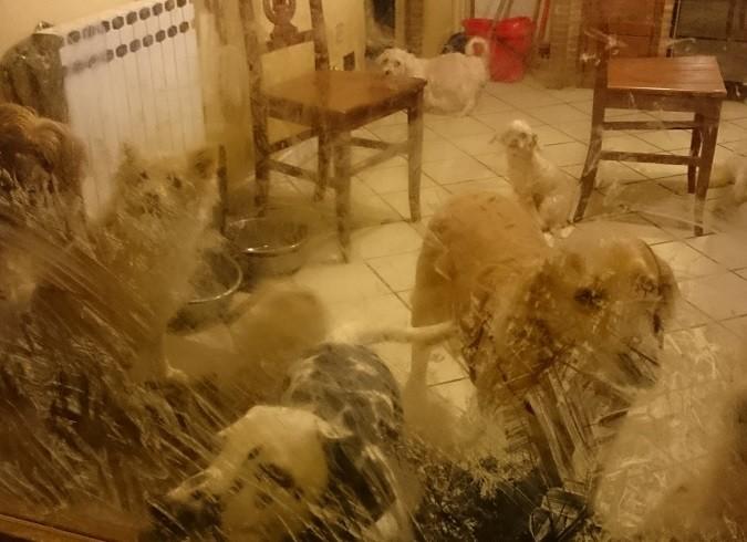 In Valdarno sequestrato allevamento abusivo di cani