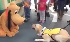 Tutti pazzi per Pluto: e il cane guida Ace lo scambia per un amichetto