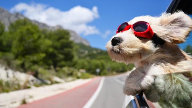 Perché alcuni cani hanno paura della macchina 2