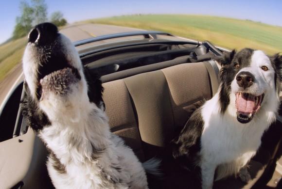 Perché alcuni cani hanno paura della macchina?