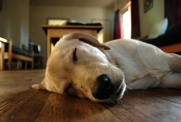 """Perché i cani a volte """"corrono"""" mentre dormono?"""