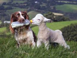 #Dogs4Lambs – Gli agnellini non se li mangia neanche il cane. E tu?