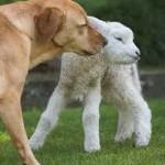 Il profumo di un agnellino è più buono da vivo che da cotto
