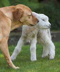 #Dogs4Lambs – Il profumo di un agnellino è più buono da vivo che da cotto