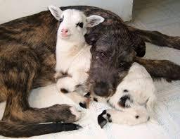 #Dogs4Lambs – Gli agnellini non si mangiano, si coccolano