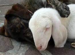 #Dogs4Lambs – Sono due cuccioli: davvero vorresti mangiarne uno?