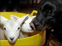 #Dogs4Lambs – Non li sto assaggiando: li bacio