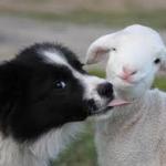 La bocca sugli agnellini si usa solo per i baci