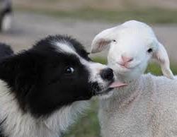 #Dogs4Lambs – La bocca sugli agnellini si usa solo per i baci