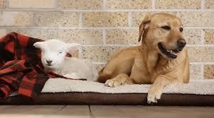 #Dogs4Lambs – Per gli agnellini io aggiungo un posto a cuccia, non a tavola