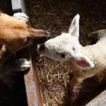 Nasi a punta, orecchie a punta: distingui l'agnellino