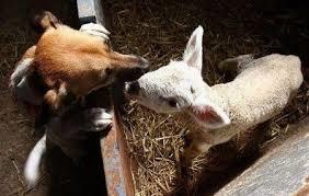 #Dogs4Lambs – Nasi a punta, orecchie a punta… distingui l'agnellino