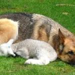 Lupus et agnus… non disturbate l'agnellino