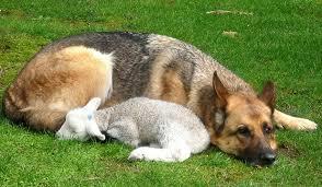 #Dogs4Lambs – Lupus et agnus… non disturbate l'agnellino