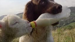 #Dogs4Lambs – Niente agnello domani, vero? I Dogs4Lambs ringraziano
