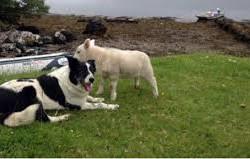 """#Dogs4Lambs – """"Non preoccuparti, agnellino: ti proteggo io!"""""""
