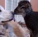 Naso naso, non forchette, con l'agnellino nero