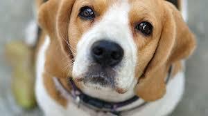 """Cinque mesi al cacciatore che uccise a fucilate la sua beagle Irlande: """"Era indisciplinata"""""""