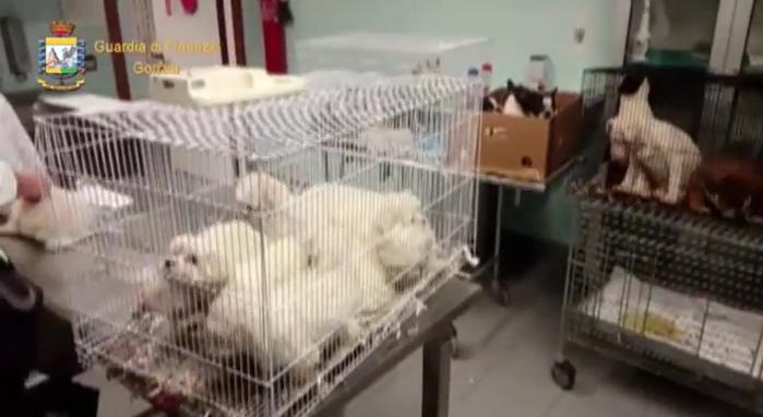 Gorizia, sequestro di 41 cagnolini. Colpo GdF contro il traffico illegale. Il video dell'operazione